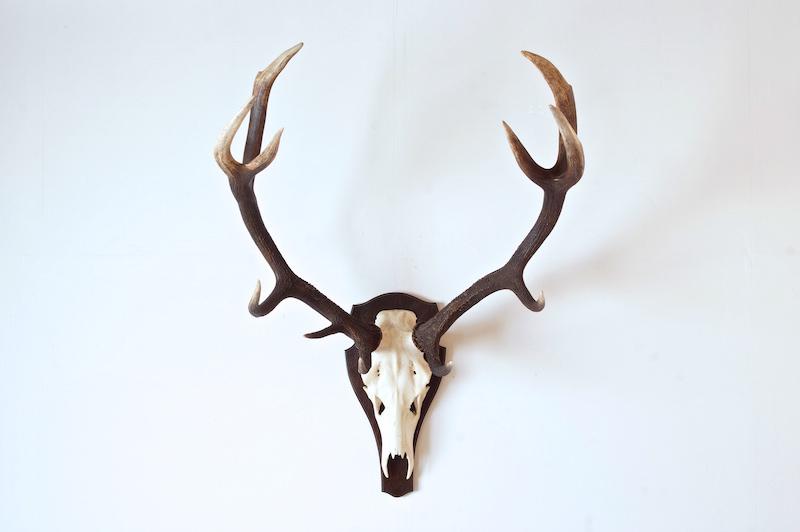 Huge deer horn
