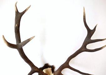 Huge deer horn #2